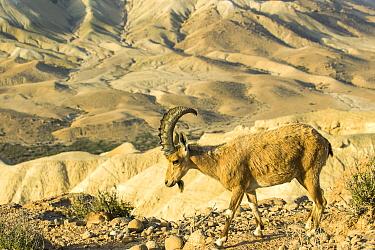 Nubian Ibex (Capra nubiana) male in desert, Israel