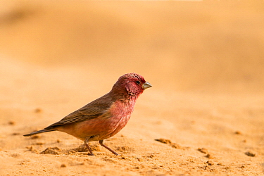 Pale Rosefinch (Carpodacus synoicus) male in desert, Jordan