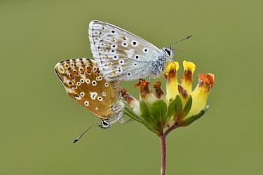Chalkhill Blue (Polyommatus coridon) butterflies mating, Germany