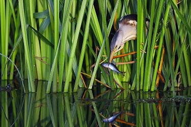 Little Bittern (Ixobrychus minutus) with fish prey, Netherlands