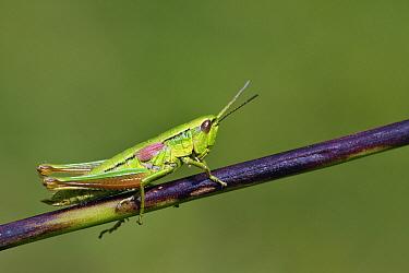 Small Gold Grasshopper (Euthystira brachyptera), Switzerland