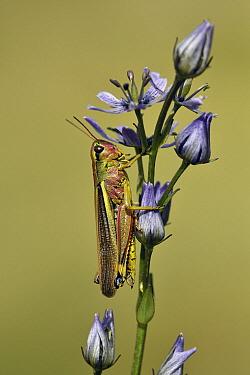 Marsh Grasshopper (Stethophyma grossum), Switzerland