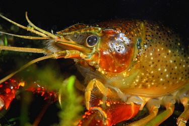 Louisiana Crayfish (Procambarus clarkii), invasive species, Netherlands