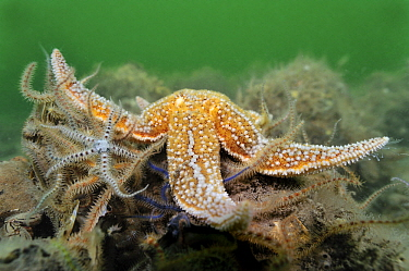 European Starfish (Asterias rubens) on Brittlestars (Ophiothrix sp), Netherlands