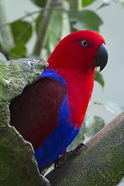 Eclectus Parrot (Eclectus roratus) male at nest cavity, Australia