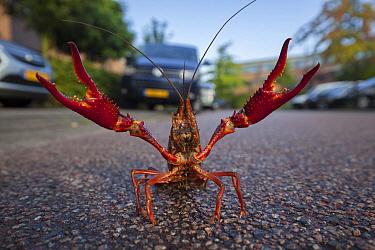 Louisiana Crayfish (Procambarus clarkii) in defensive posture on road, Netherlands