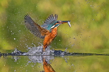 Common Kingfisher (Alcedo atthis) fishing, Netherlands