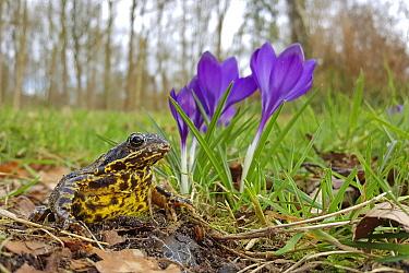 Common Frog (Rana temporaria) and Crocus (Crocus sp) flowers in park, Netherlands