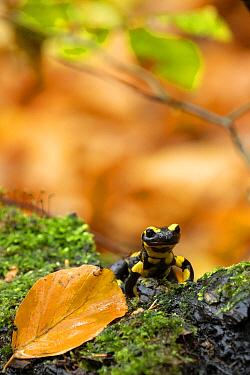 Fire Salamander (Salamandra salamandra) in autumn, Germany