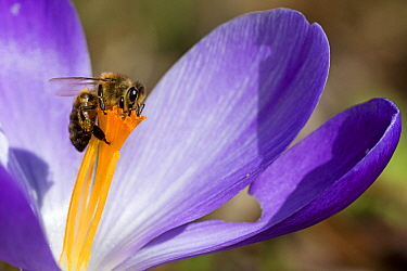 Honey Bee (Apis mellifera) feeding on Crocus (Crocus sp) flower nectar, Netherlands