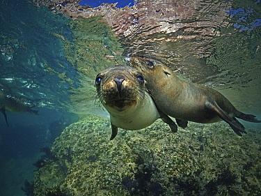 California Sea Lion (Zalophus californianus) females, Los Islotes Island, Mexico