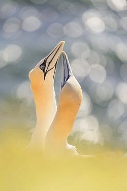 Northern Gannet (Morus bassanus) pair courting, Germany