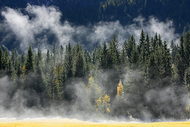 Mist over coniferous forest, Slovenia