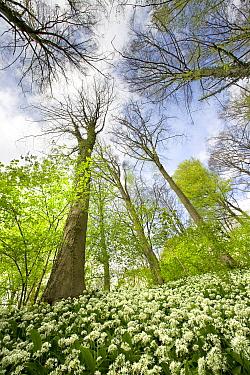 Wild Garlic (Allium ursinum) flowering in deciduous forest, Neigembos, Belgium