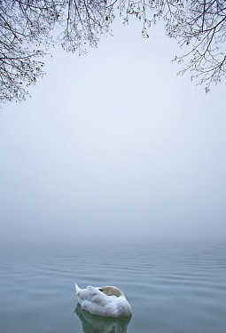 Mute Swan (Cygnus olor) resting on fog-covered lake, Slovenia