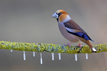 Hawfinch (Coccothraustes coccothraustes) in winter, Netherlands