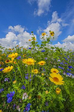 Corn Marigold (Chrysanthemum segetum), Annual Coreopsis (Coreopsis tinctoria), and Lacy Phacelia (Phacelia tanacetifolia) wildflowers, Netherlands