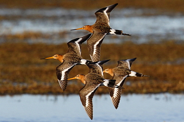 Black-tailed Godwit (Limosa limosa) group flying, Netherlands