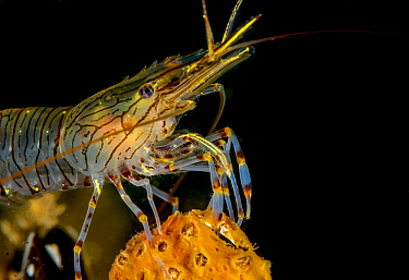 Common Prawn (Palaemon serratus), Netherlands
