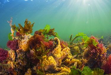 Yellow sponges and seaweed, Netherlands