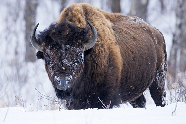 American Bison (Bison bison) female in snow, Riding Mountain National Park, Manitoba, Canada