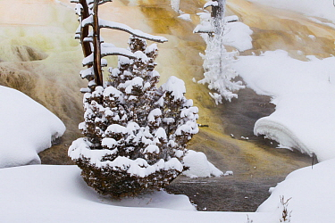 Tree at geothermal hot spring in winter, Mammoth Hot Springs, Yellowstone National Park, Wyoming