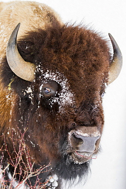 American Bison (Bison bison) bull browsing in winter, Yellowstone National Park, Wyoming