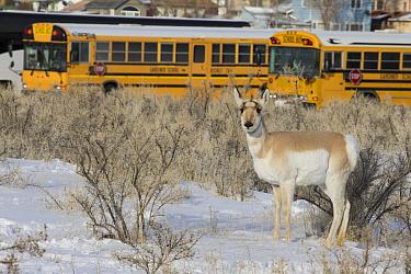 Pronghorn Antelope (Antilocapra americana) female in city in winter, Gardiner, Yellowstone National Park, Montana