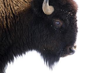 American Bison (Bison bison) female in winter, Gardiner, Yellowstone National Park, Montana