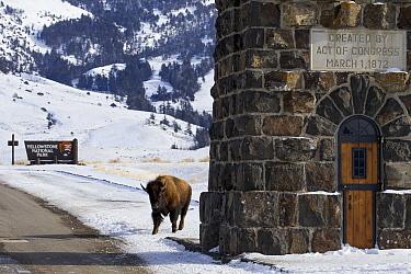 American Bison (Bison bison) sub-adult walking through park gate, Gardiner, Yellowstone National Park, Montana