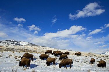American Bison (Bison bison) herd grazing in winter, Gardiner, Yellowstone National Park, Montana