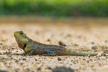 Changeable Lizard (Calotes versicolor) male, Diyasaru Park, Colombo, Sri Lanka