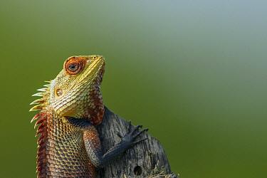 Changeable Lizard (Calotes versicolor) male in breeding coloration, Diyasaru Park, Colombo, Sri Lanka