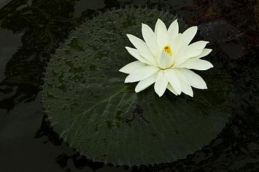 Hairy Water Lily (Nymphaea pubescens) flower, Diyasaru Park, Colombo, Sri Lanka