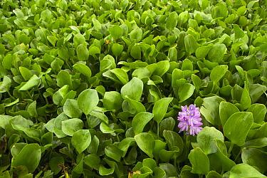 Common Water Hyacinth (Eichhornia crassipes), an invasive species, flowering, Diyasaru Park, Colombo, Sri Lanka
