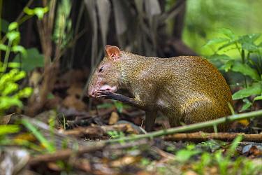 Agouti (Dasyprocta punctata) cleaning paw, Metropolitan Natural Park, Panama City, Panama