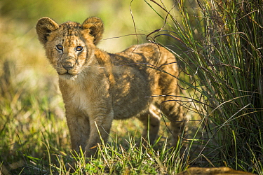 African Lion (Panthera leo) four month old cub, Kafue National Park, Zambia