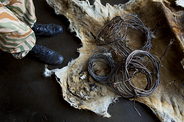 African Lion (Panthera leo) skin, along with snares used by poacher, confiscated by anti-poaching commander, Kafue National Park, Zambia