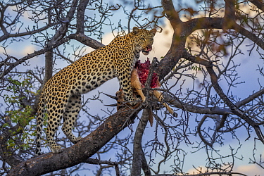 Leopard (Panthera pardus) female feeding on sub-adult male Impala (Aepyceros melampus) prey in tree, Greater Makalali Private Game Reserve, South Africa