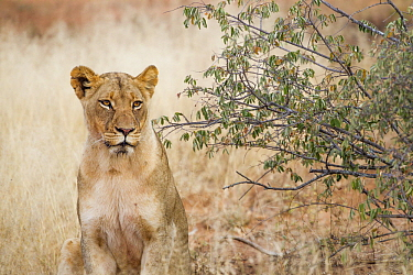 African Lion (Panthera leo) female, Greater Makalali Private Game Reserve, South Africa