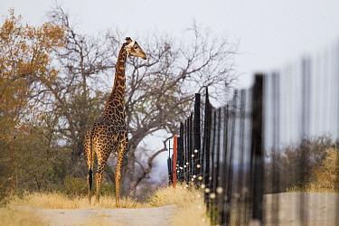 South African Giraffe (Giraffa giraffa giraffa) male at reserve fence, Greater Makalali Private Game Reserve, South Africa