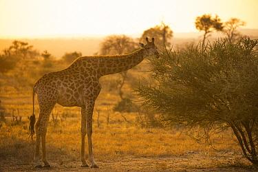 South African Giraffe (Giraffa giraffa giraffa) male browsing on Acacia (Acacia sp) tree at sunset, Greater Makalali Private Game Reserve, South Africa