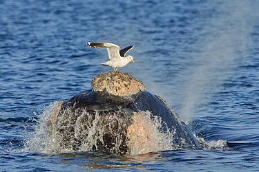 Southern Right Whale (Eubalaena australis) surfacing with Kelp Gull (Larus dominicanus) picking off lice, Chubut, Argentina, sequence 1 of 4