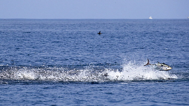 Pacific Bluefin Tuna (Thunnus orientalis) hunting Northern Anchovy (Engraulis mordax), Nine Mile Bank, San Diego, California