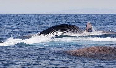 Fin Whale (Balaenoptera physalus) gulp feeding on krill, Nine Mile Bank, San Diego, California