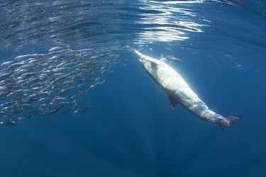 Common Dolphin (Delphinus delphis) feeding on Pacific Sardine (Sardinops sagax), Nine Mile Bank, San Diego, California