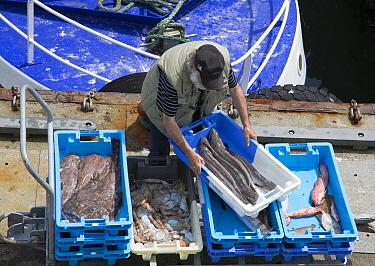 Goosefish (Lophius sp), Hake (Merluccius sp), and squid catch, Guilvinec, Brittany, France