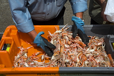 Norway Lobster (Nephrops norvegicus) catch, Guilvinec, Brittany, France