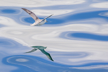 Northern Fulmar (Fulmarus glacialis) flying over ocean, Iceland