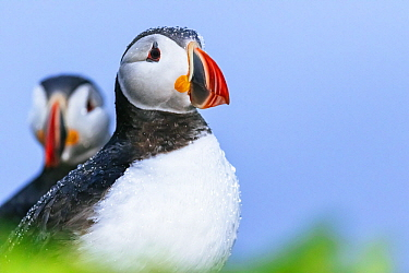 Atlantic Puffin (Fratercula arctica) pair in rainfall, Grimsey Island, Iceland